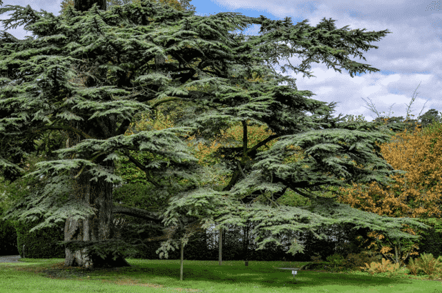 Cèdre de Liban Arboretum © CG92/Willy Labre