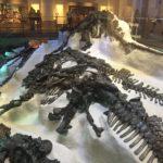 Les Iguanodons de Bernissard tels qu'ils ont été retrouvés